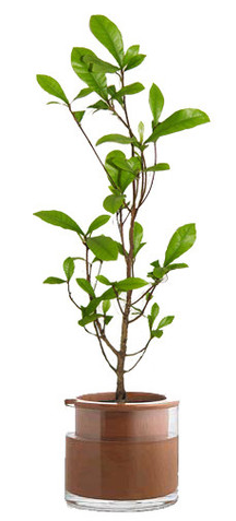 miracle berry fruit plant