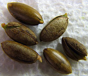miracle berry fruit seeds